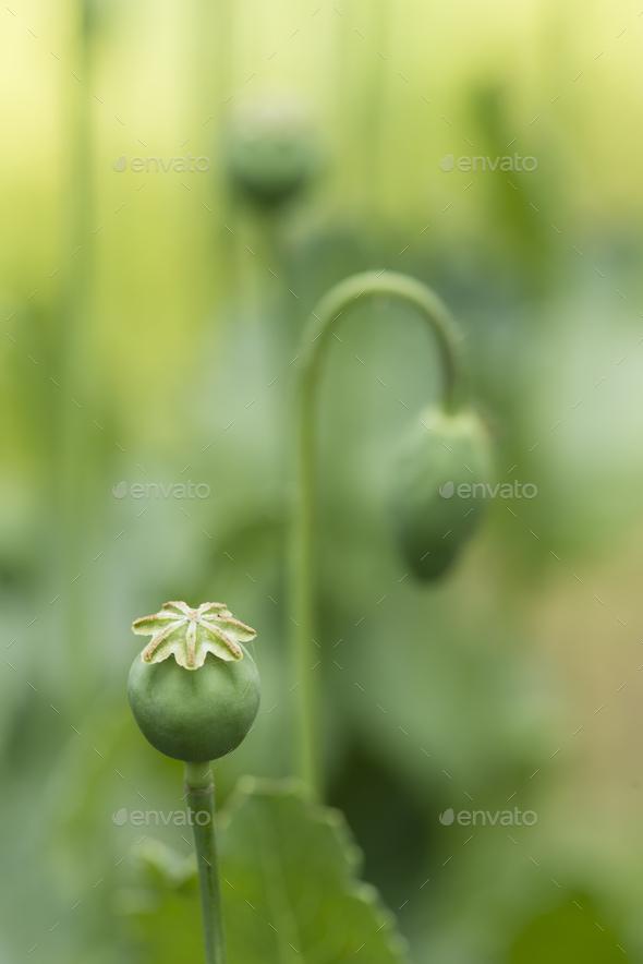 Capsules and flowers of opium poppy papaver somniferum stock photo capsules and flowers of opium poppy papaver somniferum stock photo images mightylinksfo