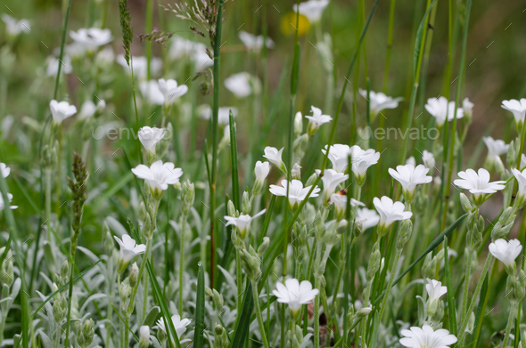 Tiny white flowers in grass stock photo by cmbankus photodune mightylinksfo