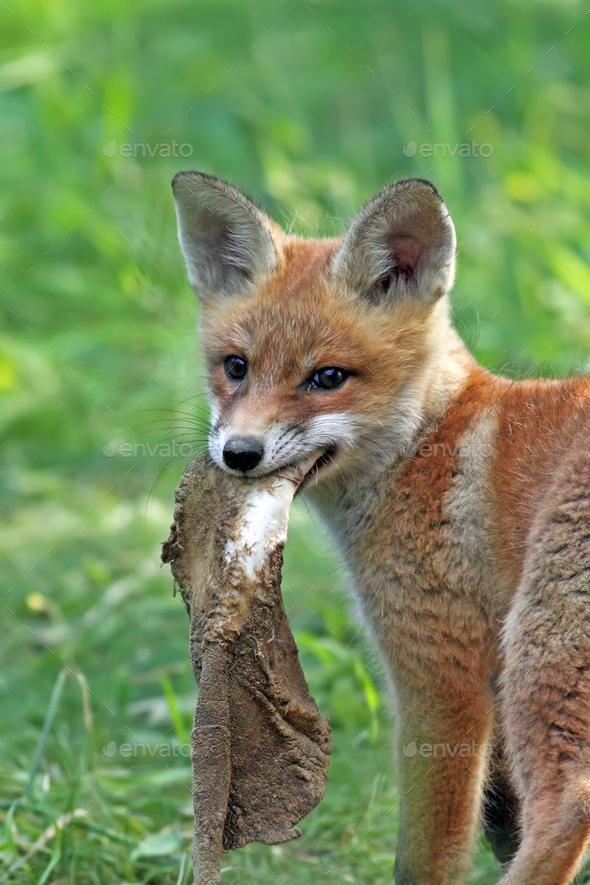 Fox in the wild Stock Photo by johan10   PhotoDune