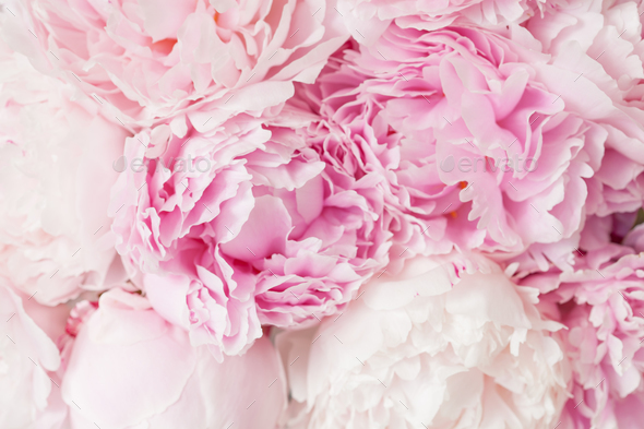 Beautiful pink peony flower background stock photo by duskbabe beautiful pink peony flower background stock photo images mightylinksfo Gallery