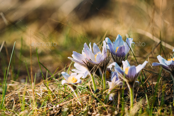 Wild spring flowers pulsatilla patens flowering blooming plant wild spring flowers pulsatilla patens flowering blooming plant stock photo by grigorybruev mightylinksfo