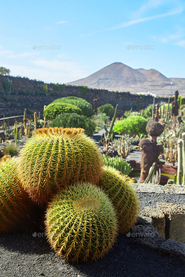 cactus garden jardin de cactus in lanzarote island stock photo by magone. Black Bedroom Furniture Sets. Home Design Ideas