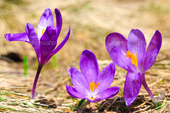 Purple crocus flowers in snow awakening in spring stock photo by purple crocus flowers in snow awakening in spring stock photo images mightylinksfo