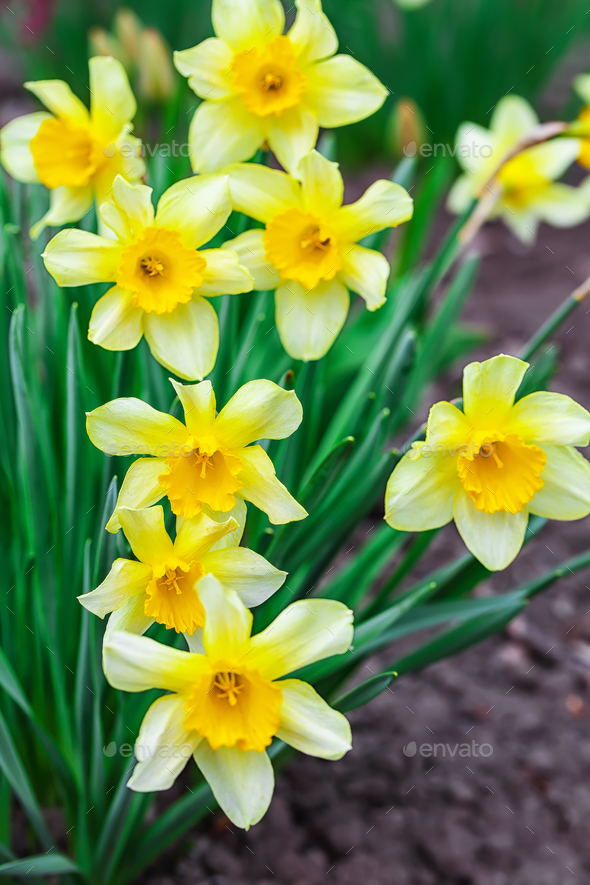 Narcissus spring yellow flowers on sunshine glade stock photo by narcissus spring yellow flowers on sunshine glade stock photo images mightylinksfo
