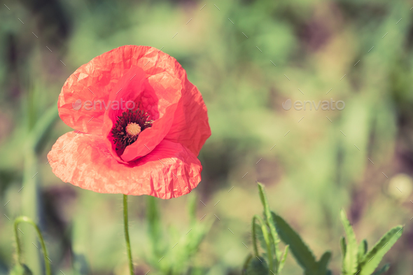 Poppy flowers retro peaceful summer background stock photo by blas poppy flowers retro peaceful summer background stock photo images mightylinksfo Image collections
