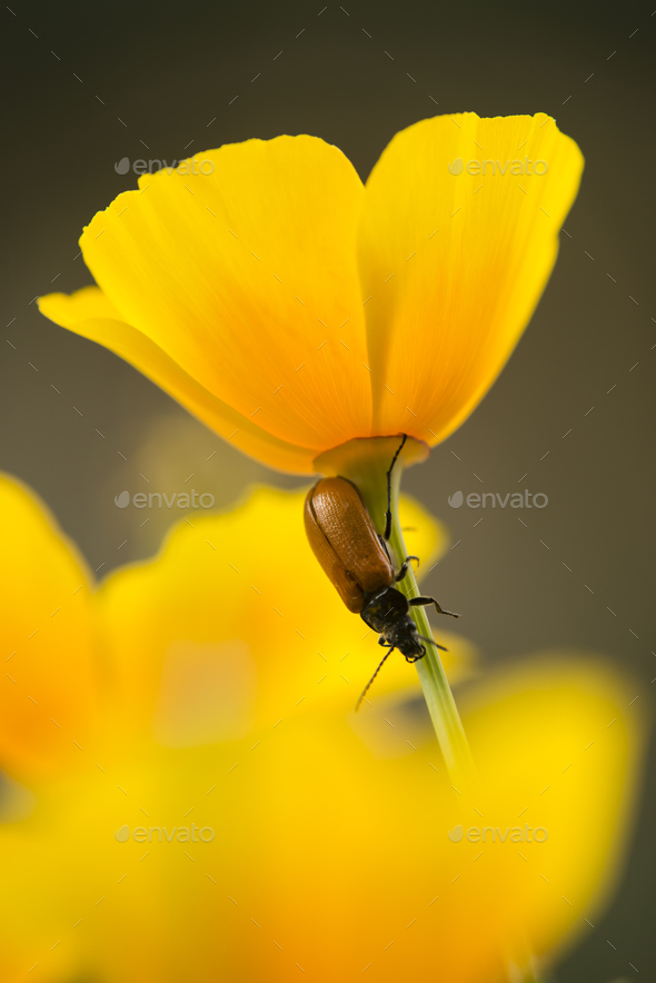 Red insect on stem of golden poppy flower stock photo by alessandrozocc mightylinksfo