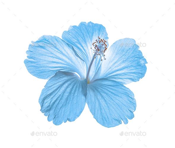 Blue flower isolated on white background stock photo by sommai blue flower isolated on white background stock photo images mightylinksfo