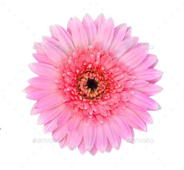 Pink gerbera flower isolated on a white background stock photo by sommai mightylinksfo