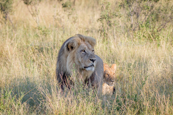 big male lion walking in the high grass stock photo by