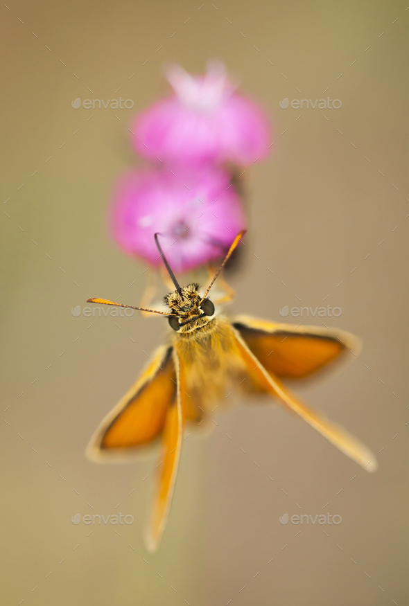Orange butterfly drinking nectar on pink flower stock photo by elegant01 orange butterfly drinking nectar on pink flower stock photo images mightylinksfo