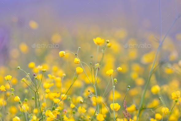 Buttercup flowers on the summer meadow stock photo by fotyma photodune mightylinksfo