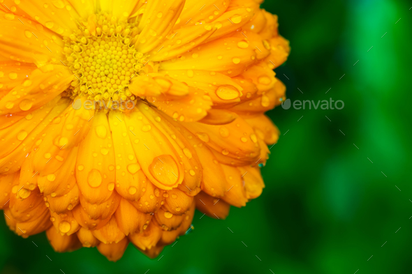 Yellow flower with wet petals on green background stock photo by yellow flower with wet petals on green background stock photo images mightylinksfo