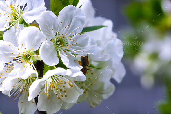Flowers of the cherry blossoms on a spring day stock photo by pilat666 flowers of the cherry blossoms on a spring day stock photo images mightylinksfo