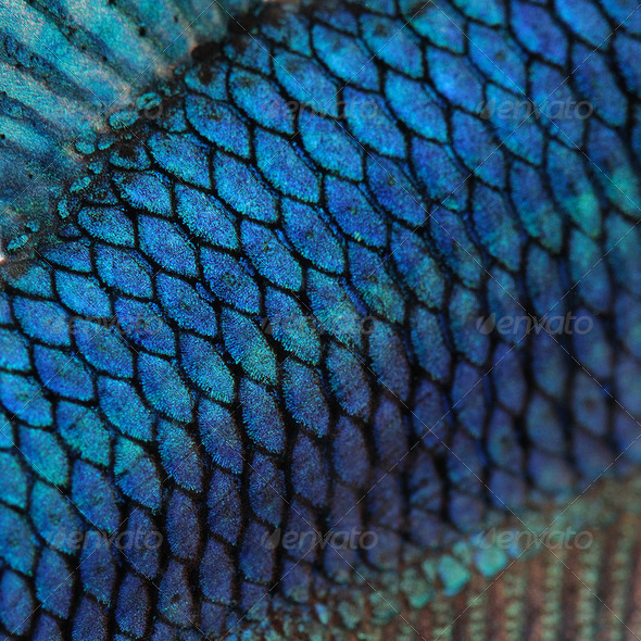 Close up on a fish skin blue siamese fighting fish for Best digital fish scale