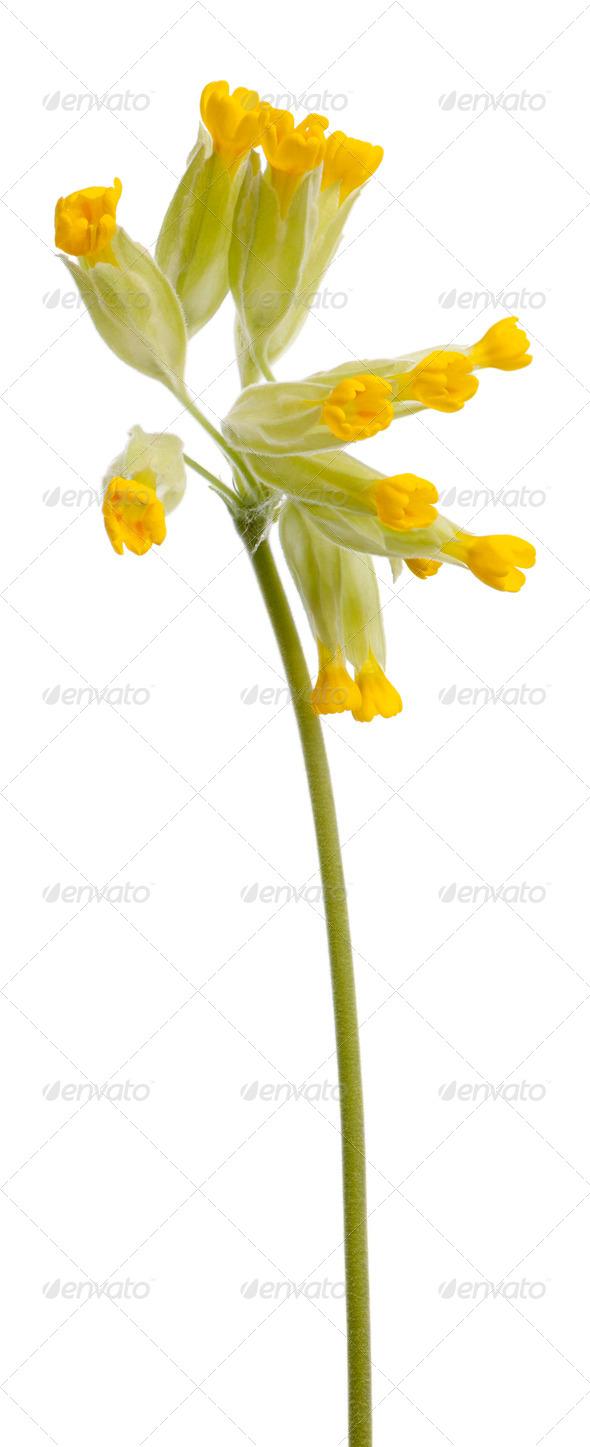 Yellow Primrose Flower Primula Veris Or Primula Officinalis In