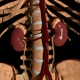 Anatomical Location Of The Kidneys - VideoHive Item for Sale