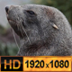 Antarctic Fur Seal - VideoHive Item for Sale