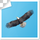 Single and Group Of Eagle Birds Flying Top View - VideoHive Item for Sale