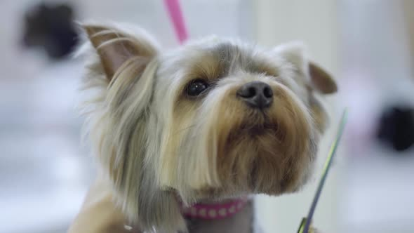 The Woman Hand Grooming Obedient Small Yorkshire Terrier Getting His