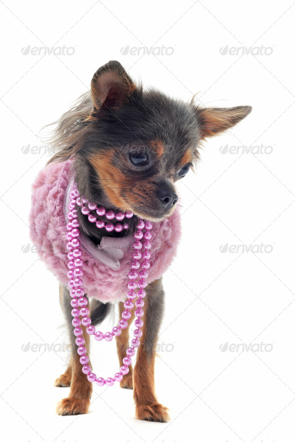 chihuahua with pearl collar - Stock Photo - Images