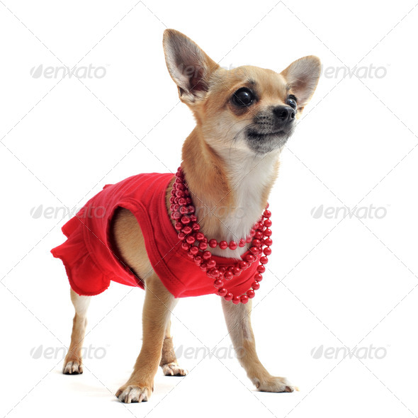 chihuahua with clothes - Stock Photo - Images