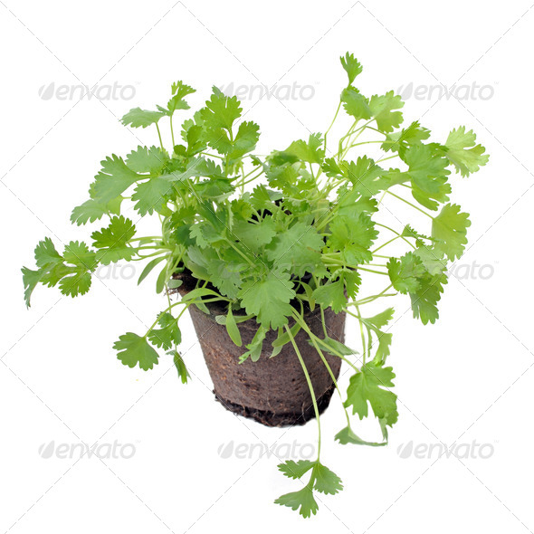 cilantro in pot isolated - Stock Photo - Images