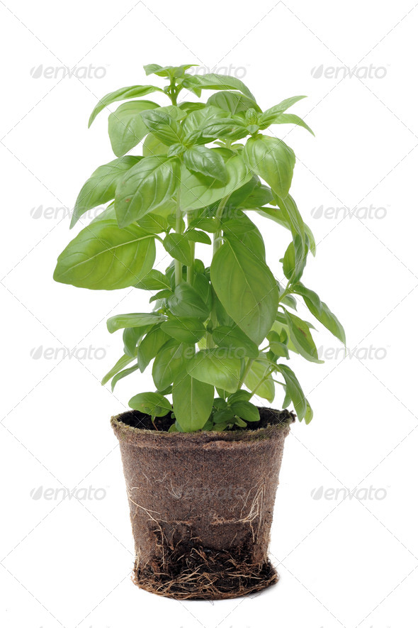 basil in pot isolated - Stock Photo - Images
