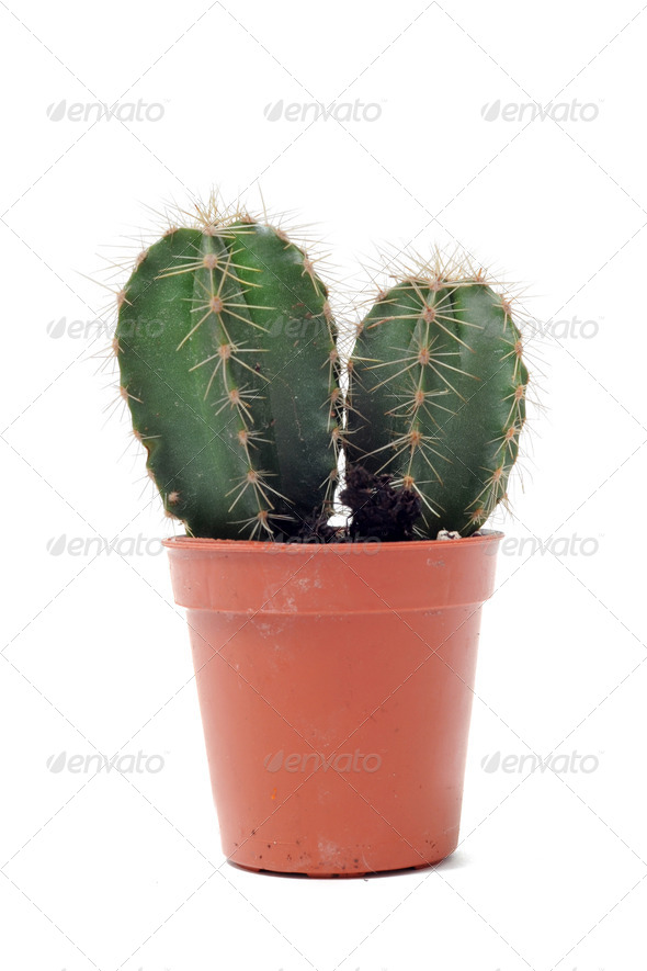cactus in pot isolated - Stock Photo - Images