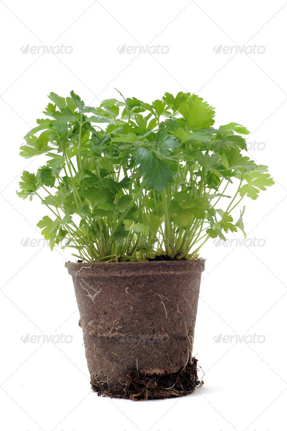 parsley in pot isolated - Stock Photo - Images