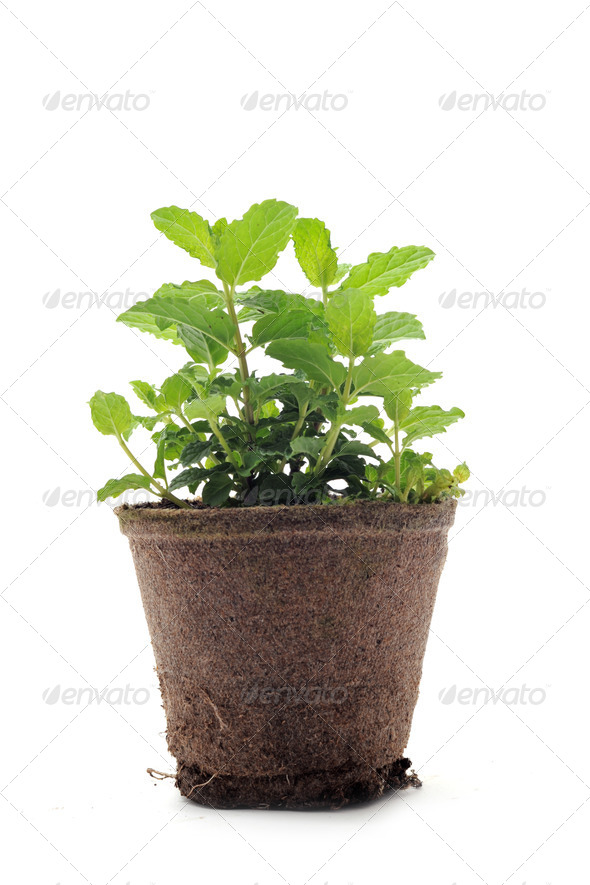 fresh mint - Stock Photo - Images