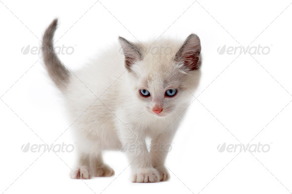 white siamese kitten - Stock Photo - Images