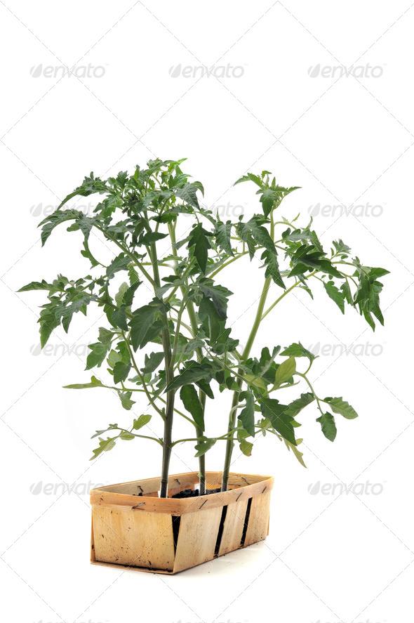 Tomato seedling - Stock Photo - Images