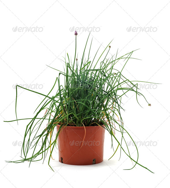 Chives in pot isolated - Stock Photo - Images