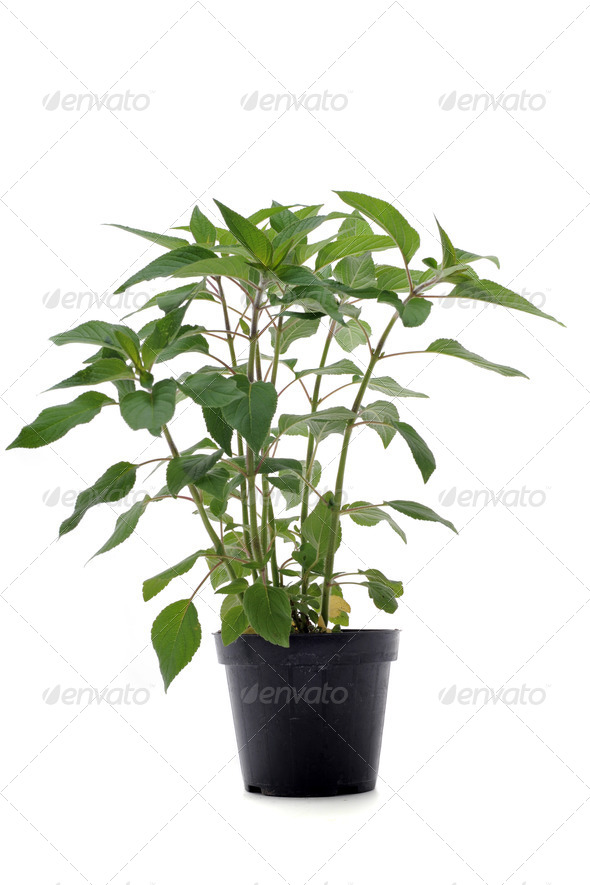 Pineapple-scented Sage - Stock Photo - Images