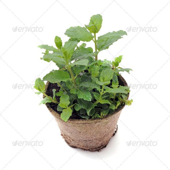 fresh mint - Stock Photo - Images