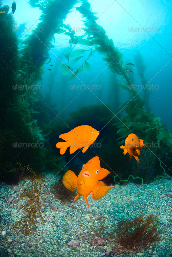 Orange fish on ocean reef - Stock Photo - Images