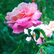 Pink Rose in the the Garden - VideoHive Item for Sale