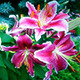 Pink Lily Bloomed in the Garden - VideoHive Item for Sale