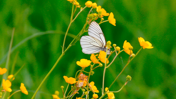 White butterfly on yellow flowers by kokhanchikov videohive play preview video mightylinksfo