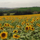 Aerial Drone Field of Sunflowers 1 - VideoHive Item for Sale