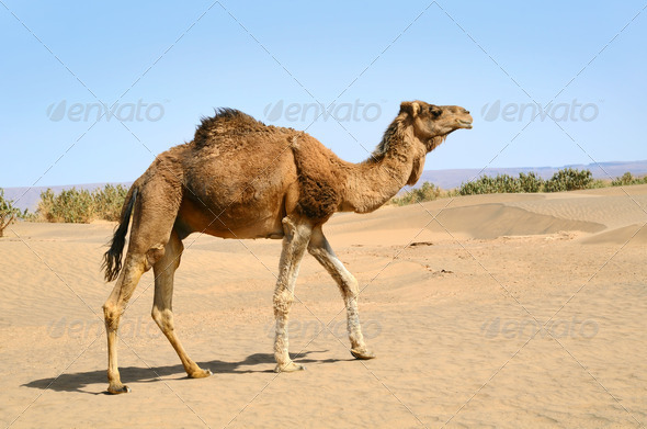 Camel in the sahara Desert - Stock Photo - Images