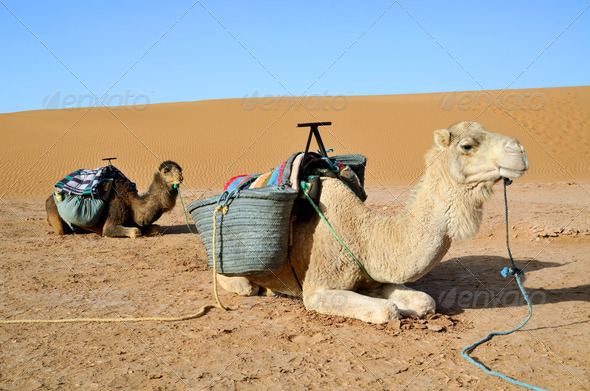 Two camels - Stock Photo - Images