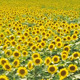 Sunflower Fields - VideoHive Item for Sale