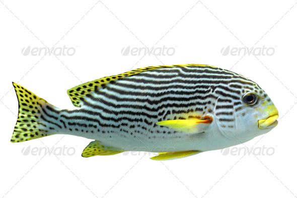 Plectorhinchus lineatus - Stock Photo - Images