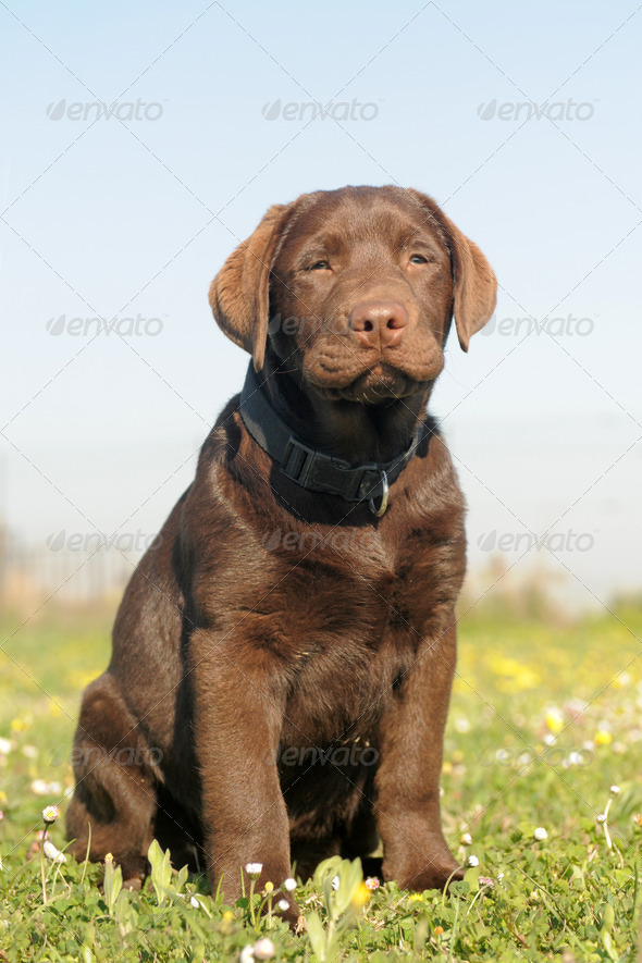 puppy labrador retriever - Stock Photo - Images