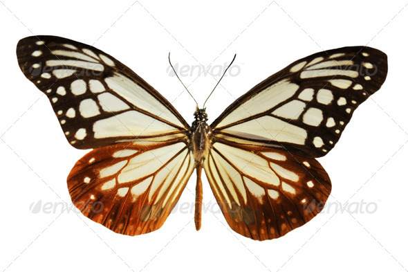 black and white butterfly - Stock Photo - Images