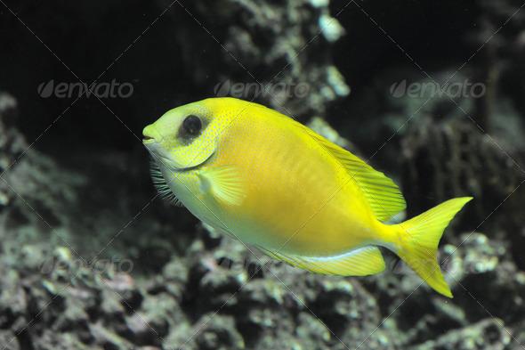 Coral rabbitfish - Stock Photo - Images