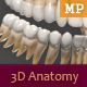 3D Anatomy - Human Teeth