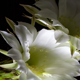 Night Blooming Cactus Flower  - VideoHive Item for Sale