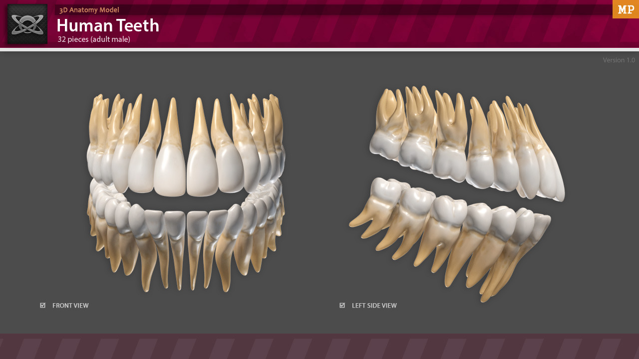 3d Anatomy Human Teeth By Motion Planet 3docean